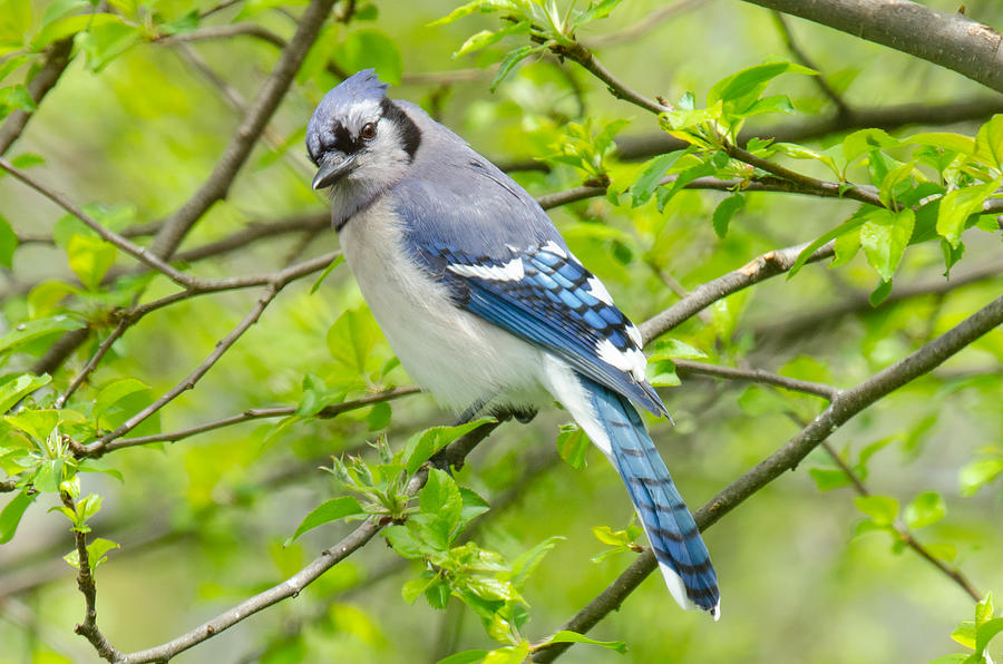 Springtime BlueJay by Kristin Hatt