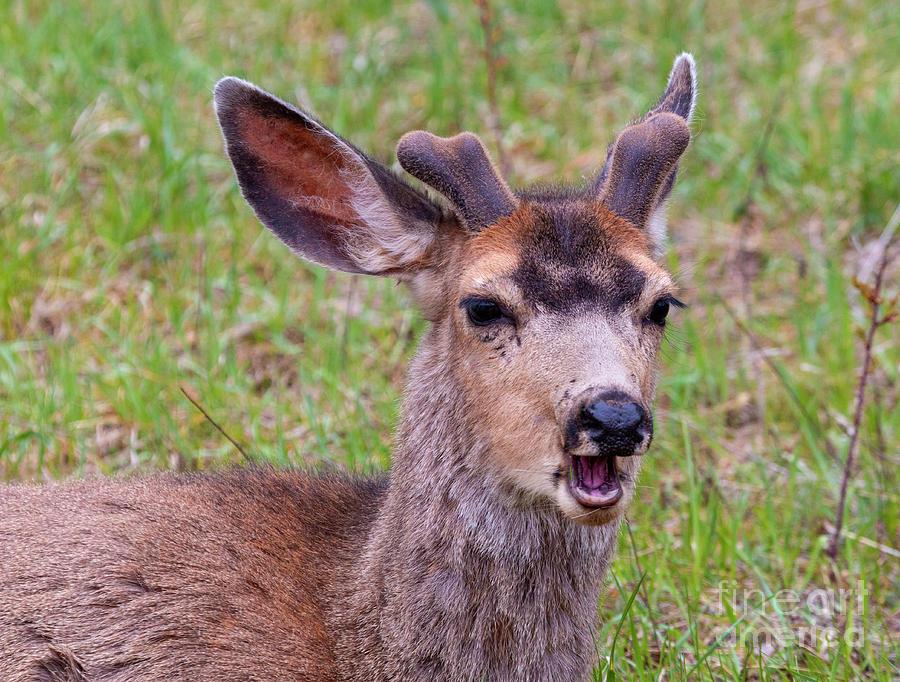 Springtime Buck Mule Deer Photograph
