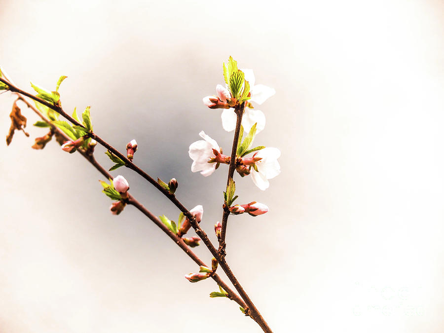 Flower Digital Art - Springtime is for Cherry Blossoms by Gina Matarazzo