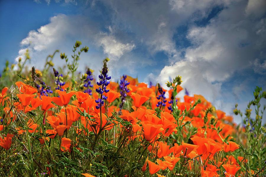 Springtime Wildflowers in the Antelope Valley - Superbloom 2019 by Lynn Bauer