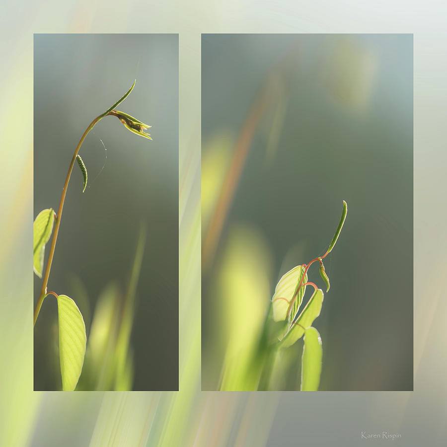 Springvine by Karen Rispin