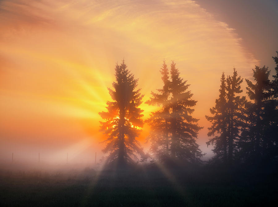 Spruce Trees in the Morning by Dan Jurak