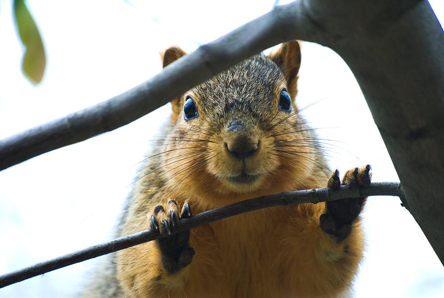 Spying Fox Squirrel by Don Northup