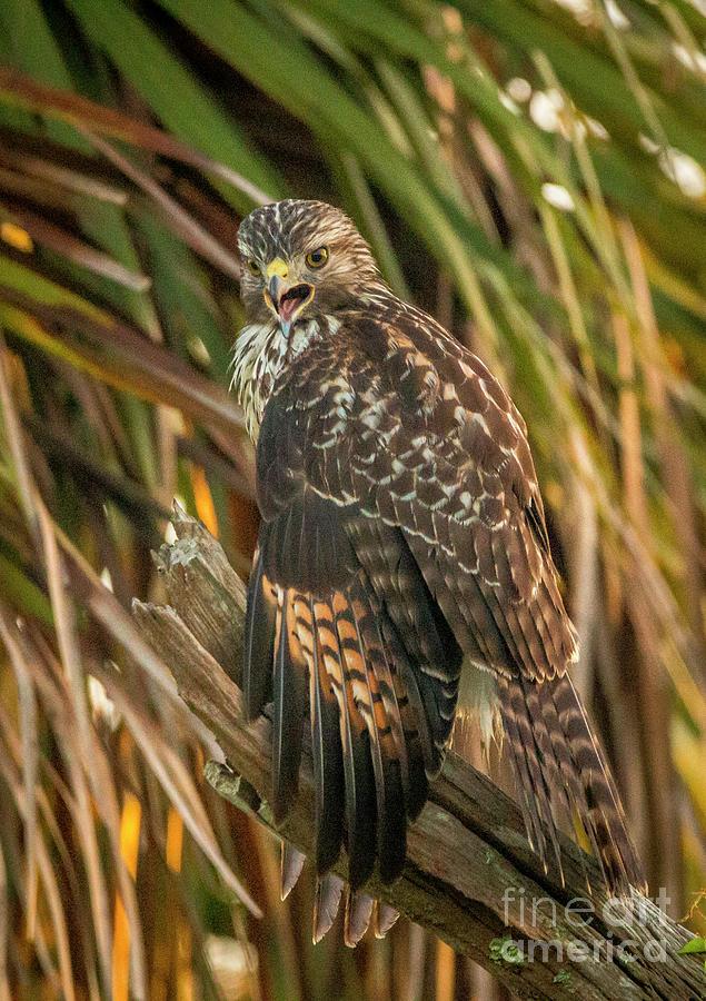 Squawk Hawk by Tom Claud