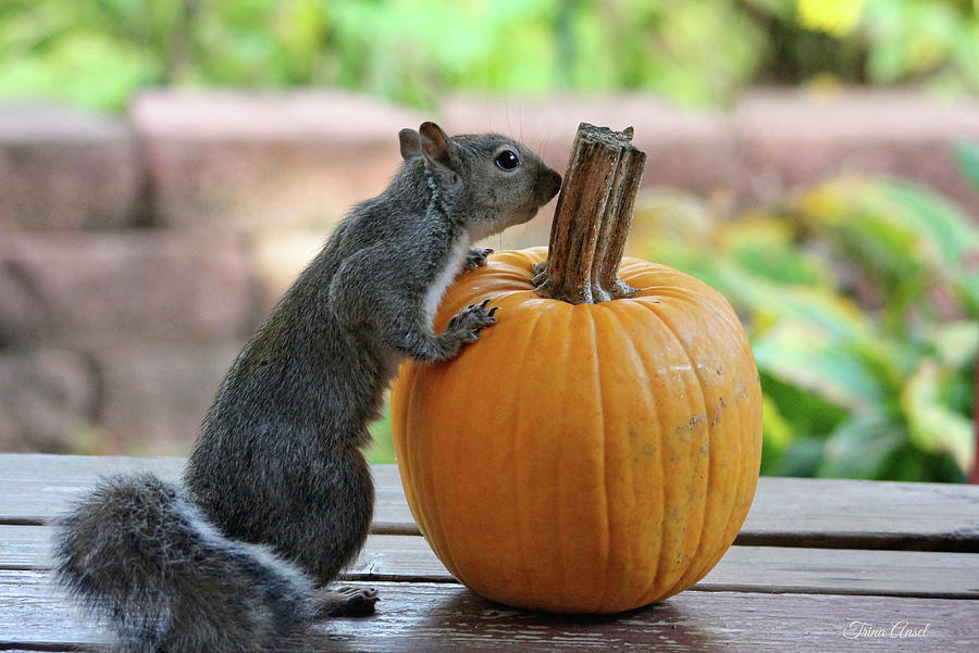 Squirrel and Pumpkin by Trina Ansel