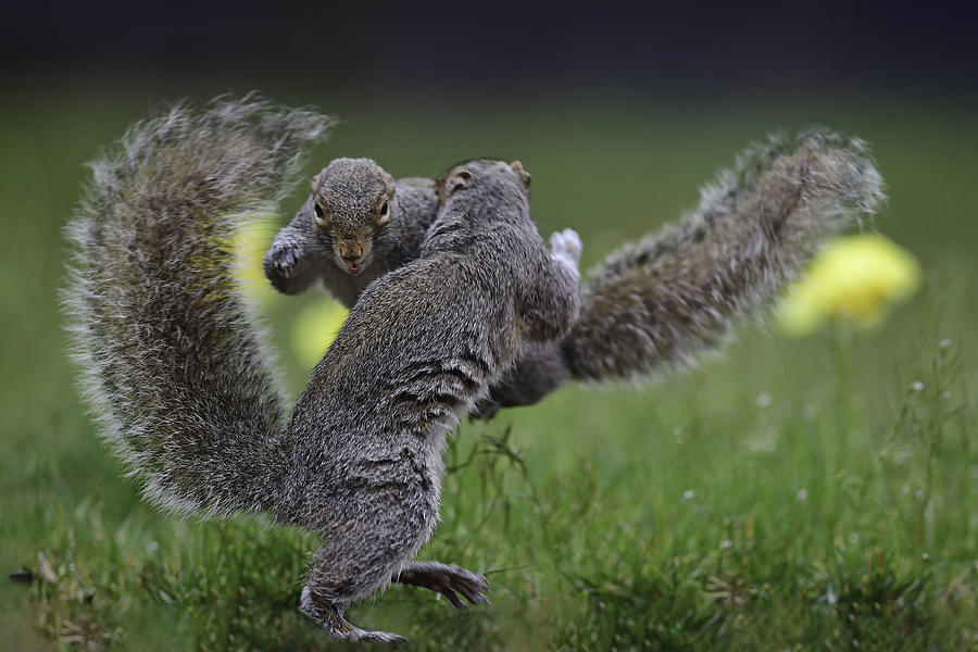 Naturel Photograph - Squirrel Boxing by Rob Li