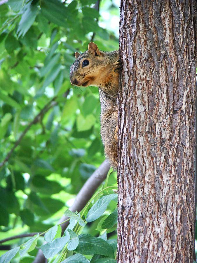 Squirrel Climbing A Tree by Don Northup