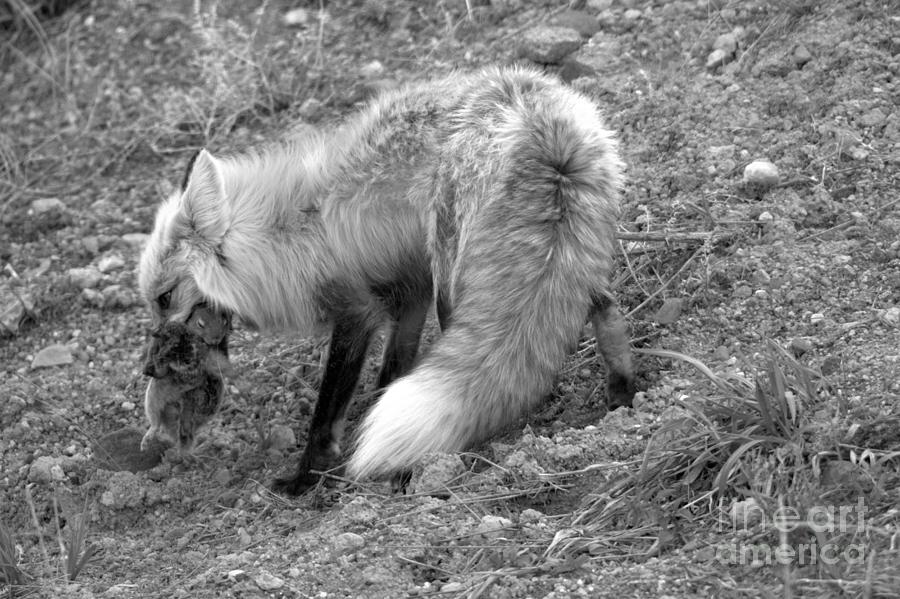 Squirrel Dinner For The Red Fox Black And White by Adam Jewell