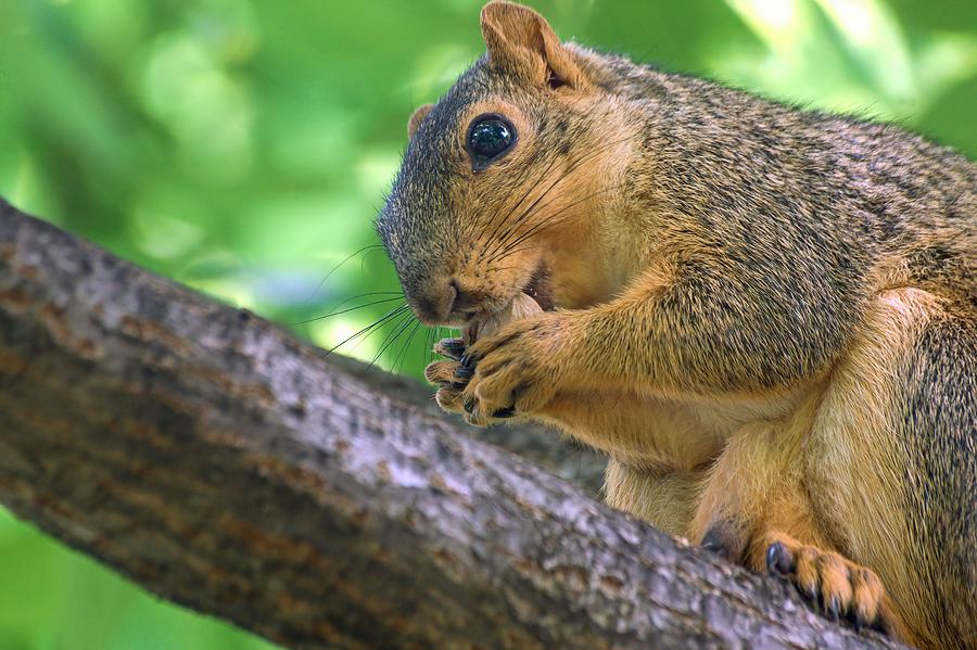 Squirrel Eating A Nut In A Tree by Don Northup