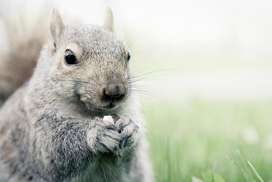 Squirrel Eating Nuts Photograph by ©ziyan Zhang