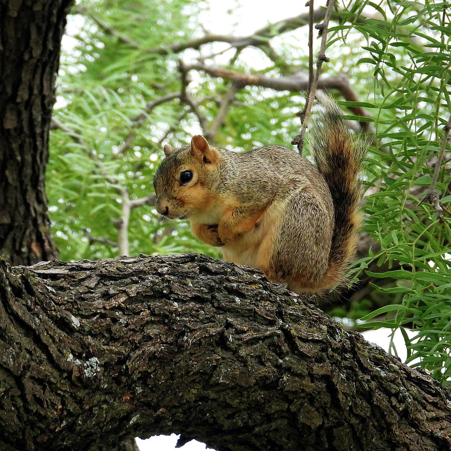 Squirrel In A Tree Photograph