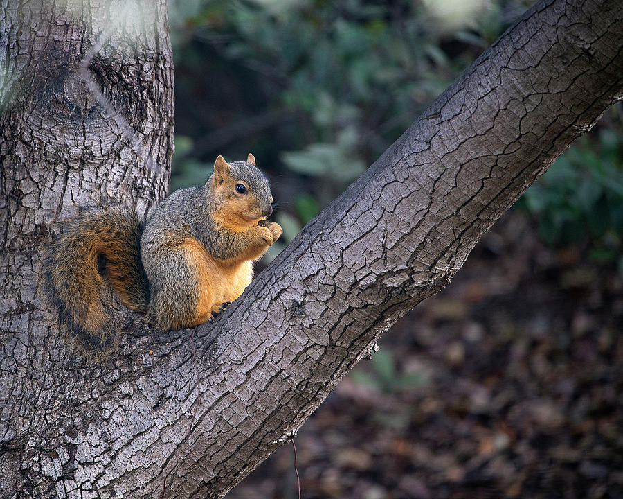 Squirrel in Oak Tree by John Rodrigues