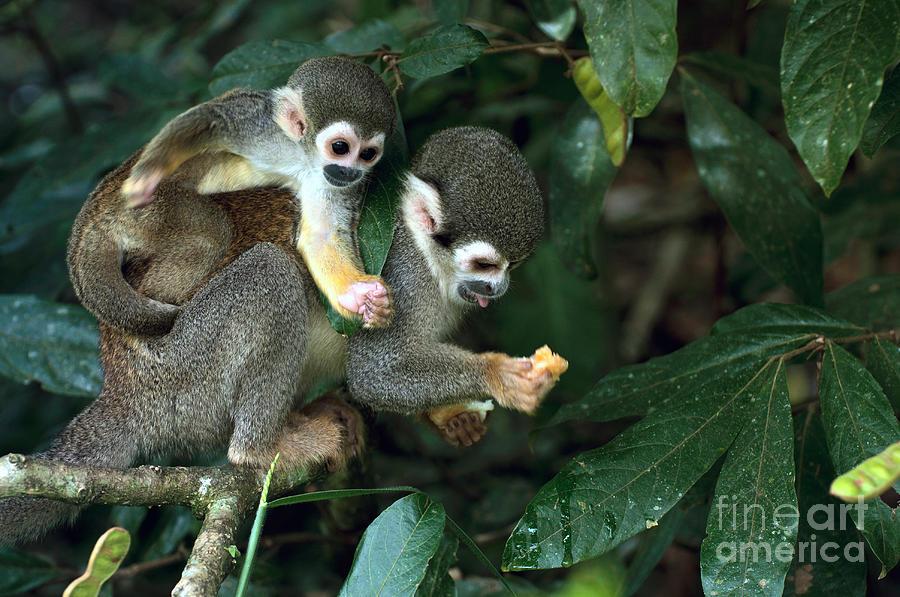 Small Photograph - Squirrel Monkey In Amazon Rainforest by Ksenia Ragozina