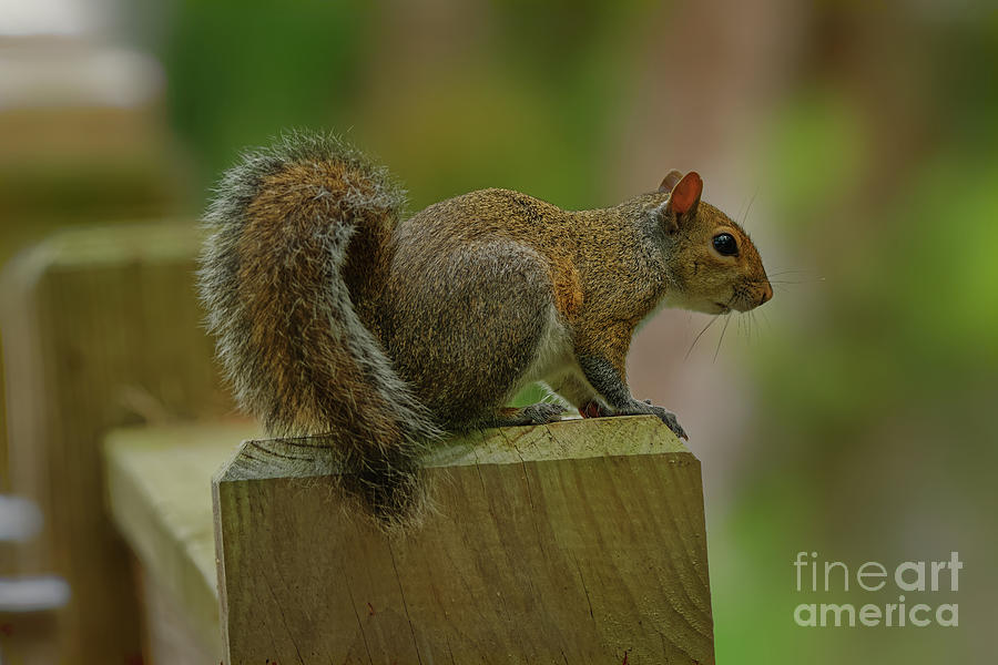 Squirrel on a Bridge Railing - 1679 by Marvin Reinhart