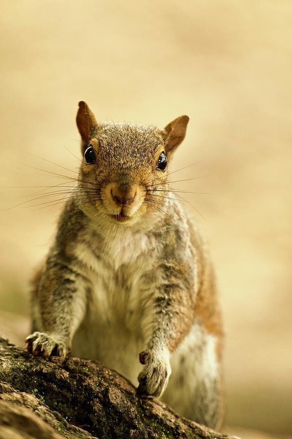 Squirrel Portrait by Rachel Morrison