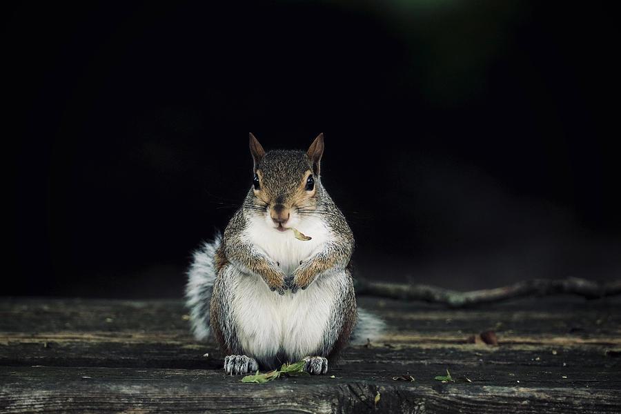 Squirrel with a Leaf by Rachel Morrison