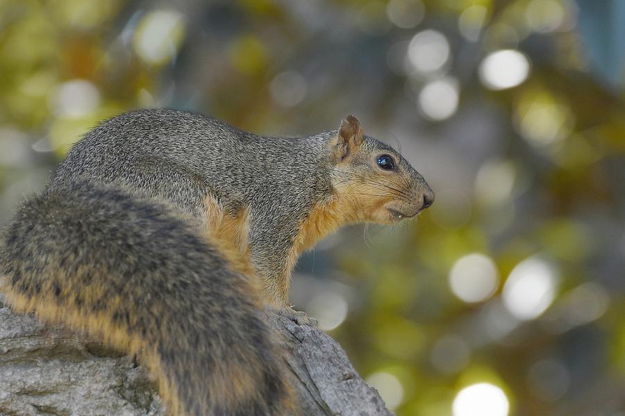 Squirrely by Fraida Gutovich