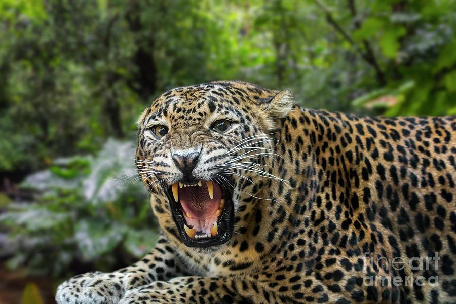 Sri Lankan Leopard by Arterra Picture Library