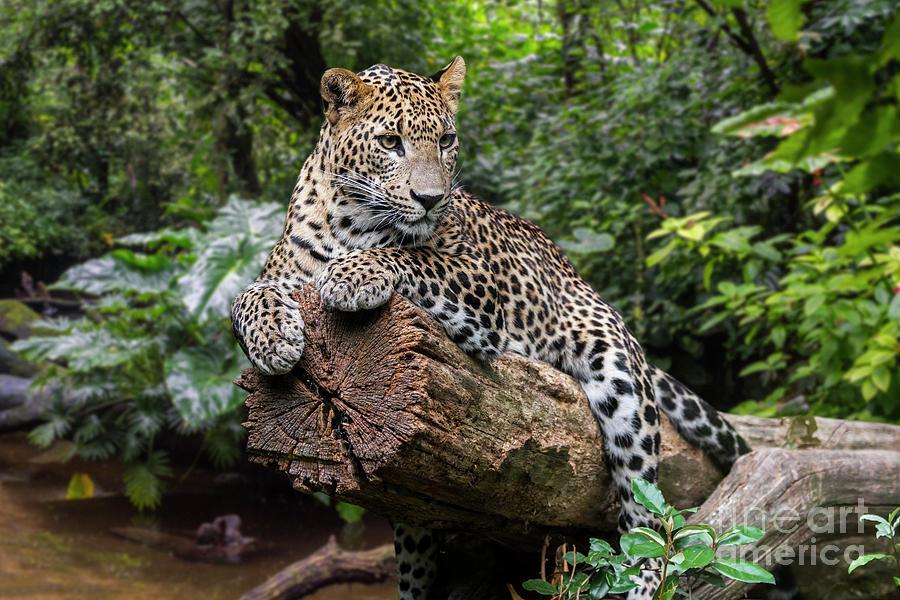 Sri Lankan Leopard in Rain Forest by Arterra Picture Library
