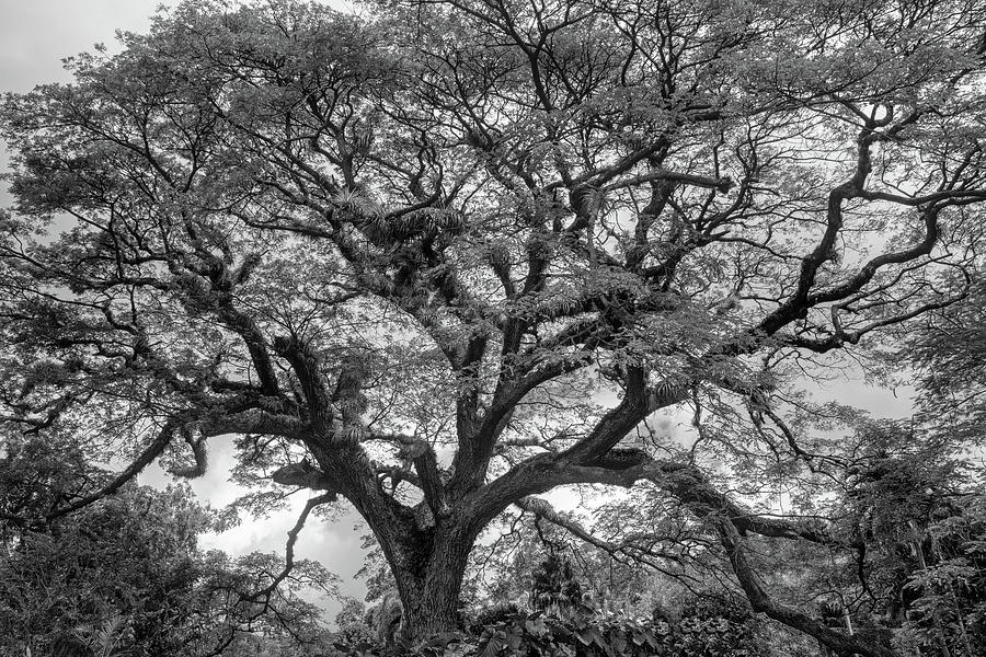 St. Kitts Saman Tree BW by Kristia Adams