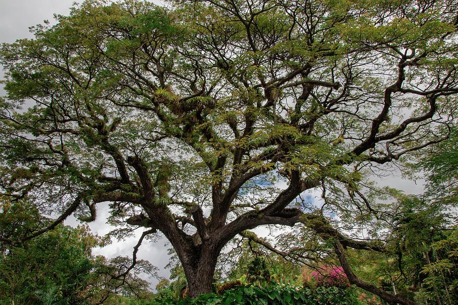 St. Kitts Saman Tree by Kristia Adams