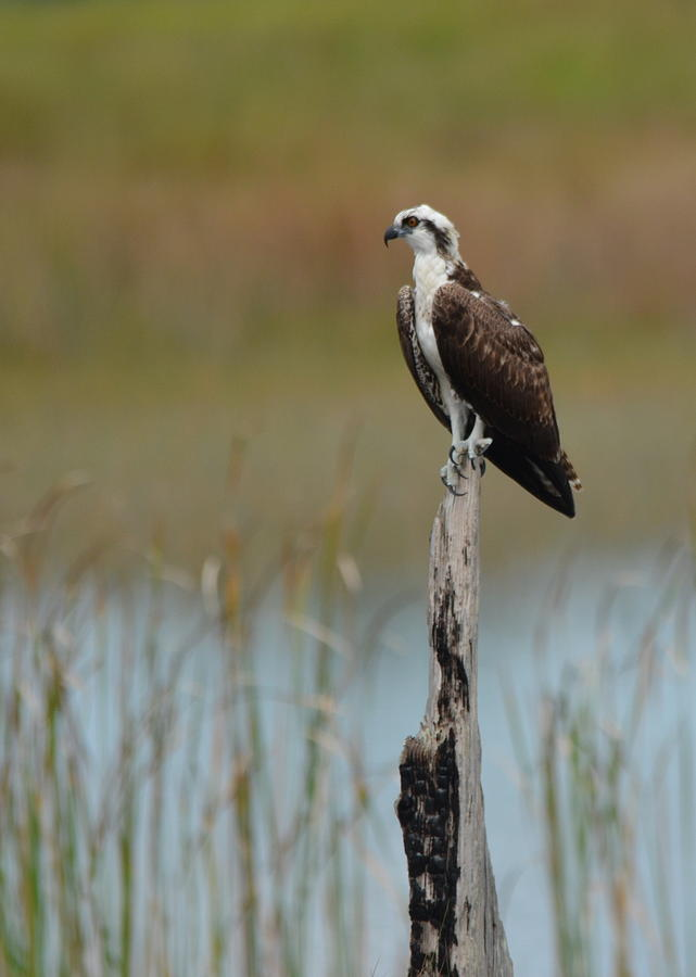 St. Marks Osprey by Carla Parris
