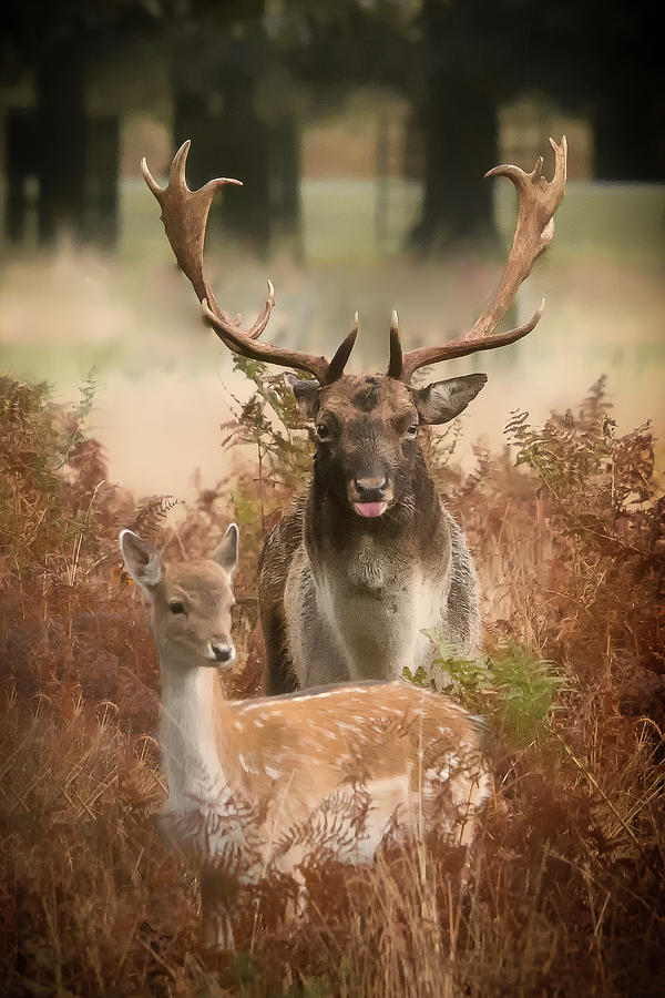 Stag and Deer by Chris Boulton