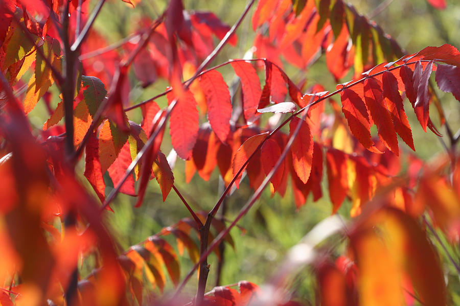 Staghorn Sumac Fall Leaves 6411 by AJP