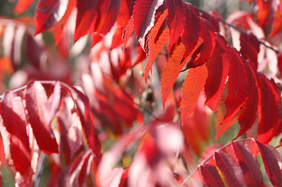 Staghorn Sumac Fall Leaves 6418 by AJP