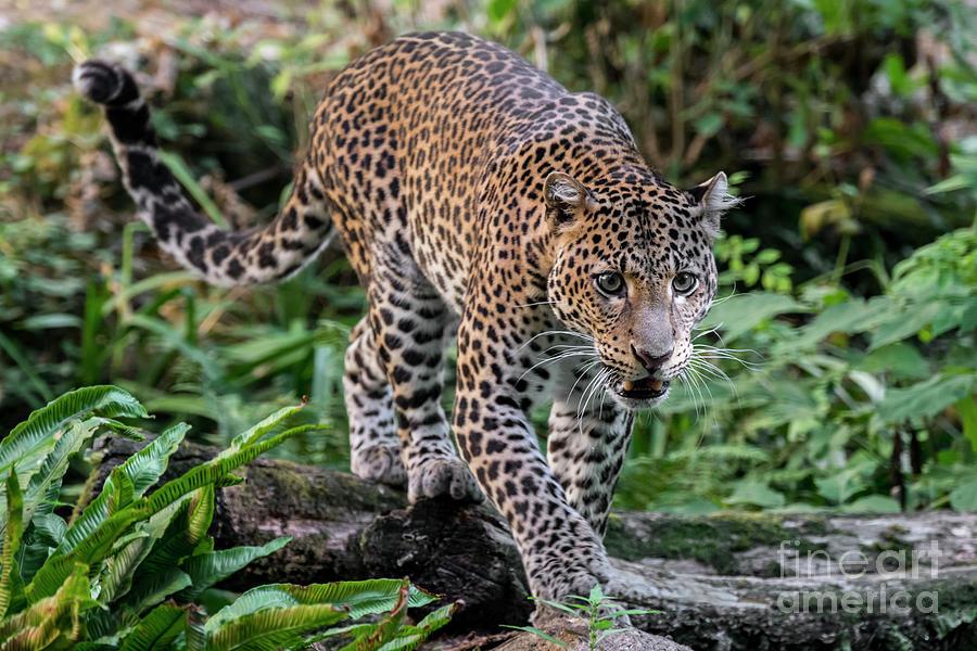 Stalking Leopard by Arterra Picture Library