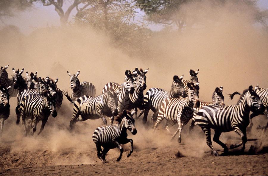 "Image result for stampeding the herd"""
