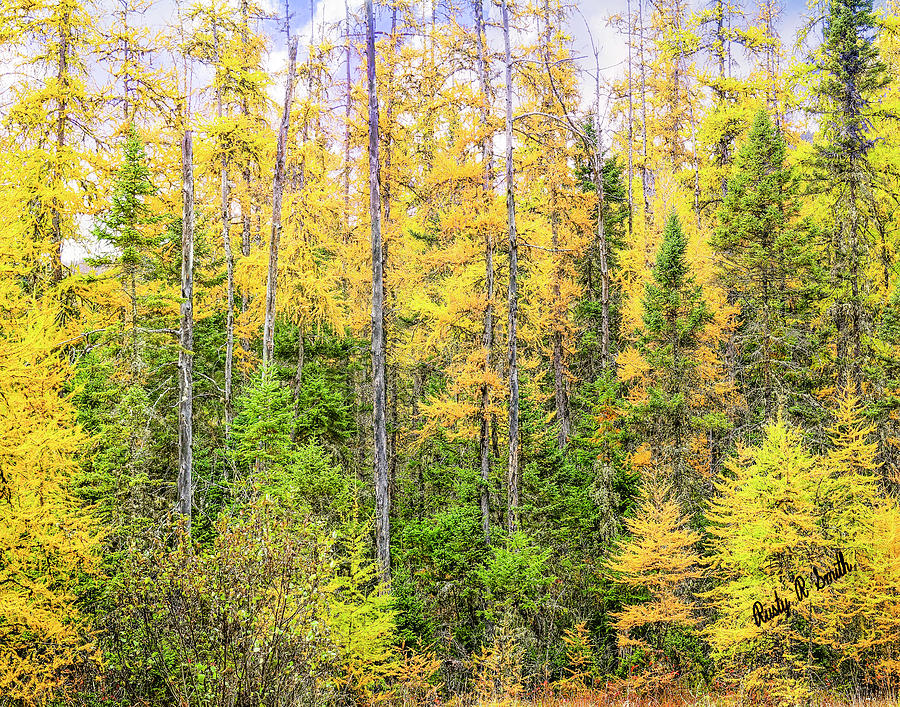 Stand of Tamarack Larch pines in Northern New Hampshire by Rusty R Smith