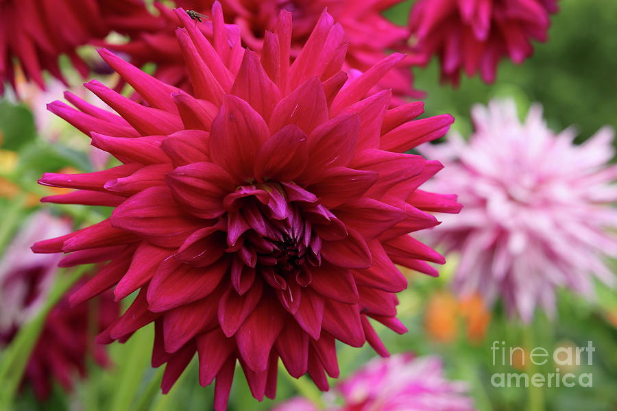 Red Dahlia Photograph - Standing Out From The Crowd by Christiane Schulze Art And Photography