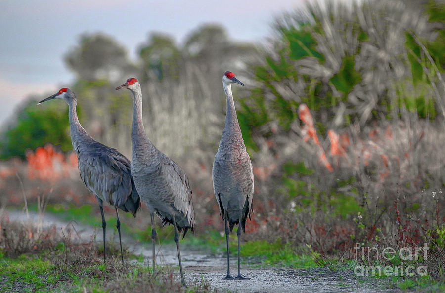 Standing Sandhills by Tom Claud