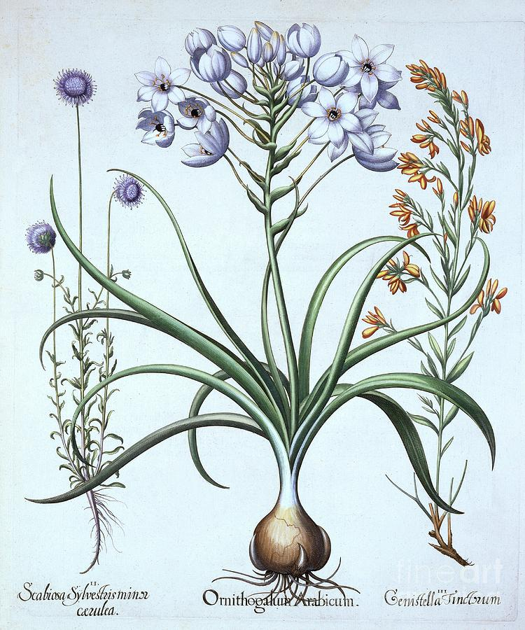 Star Of Bethlehem Drawing by Heritage Images