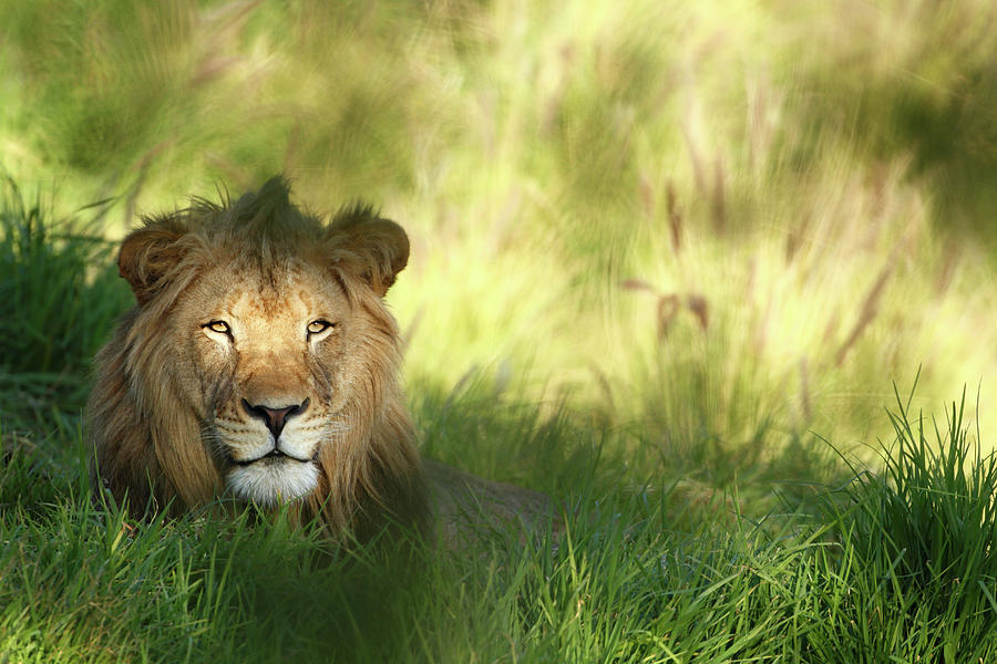 Staring Lion In Field Of Grass With Photograph by Jimkruger