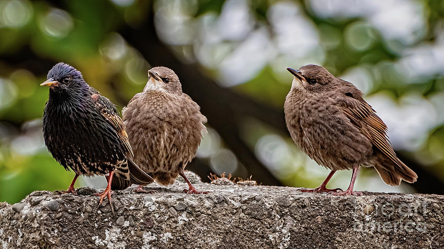 Starling Fledgling by Adrian Evans