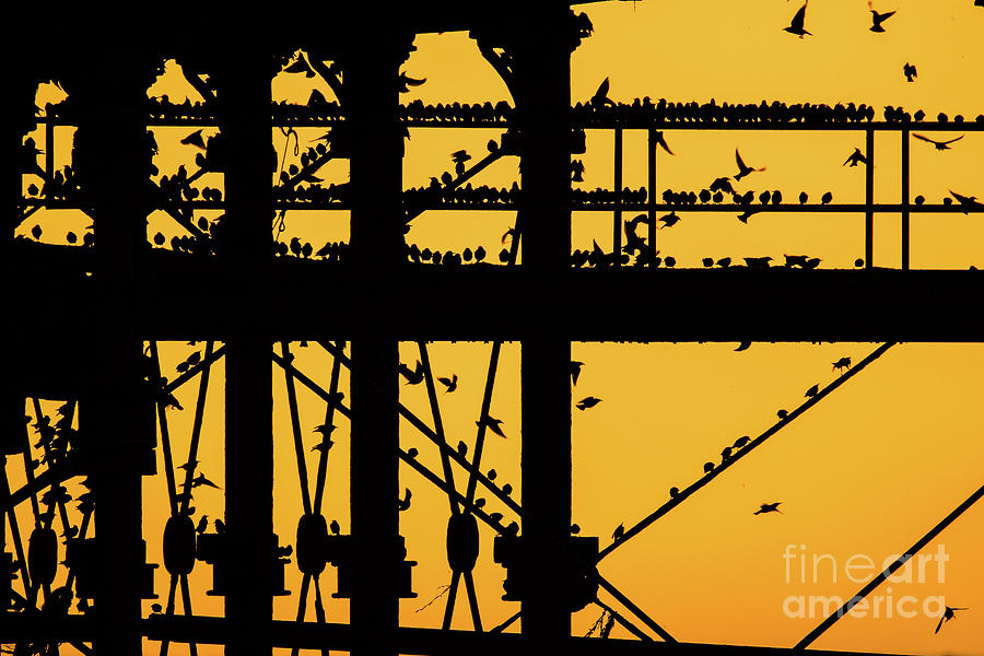 Pier Photograph - Starlings At Golden Hour On Aberystwyth Pier by Keith Morris starlings photographs
