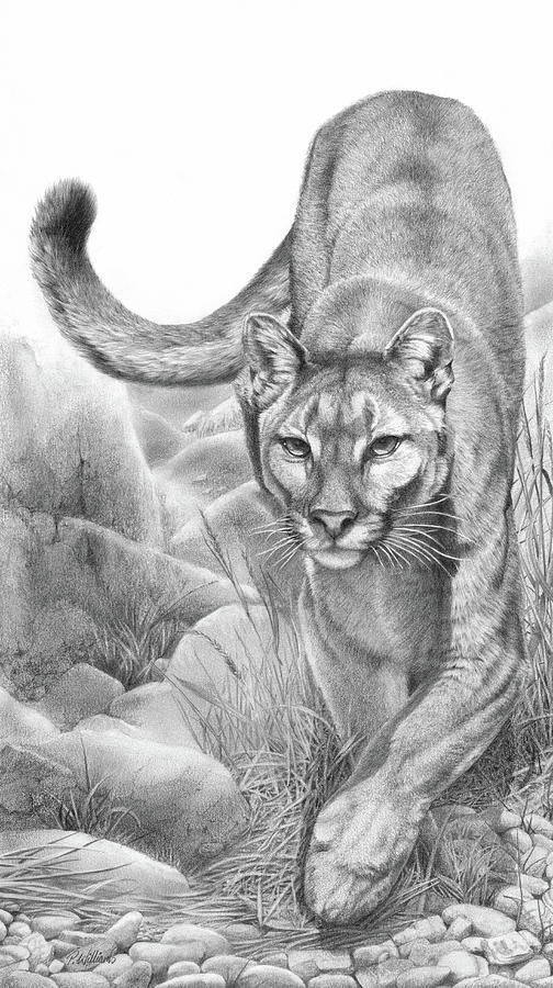 Stealth mountain lion cougar drawing by Peter Williams