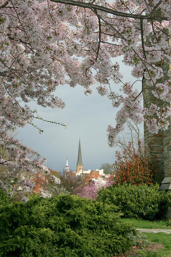 Steeples Through The Cherry Trees Photograph by Williamsherman