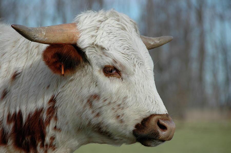 Steer Photograph - Steer Stare Sneer by Marty Klar