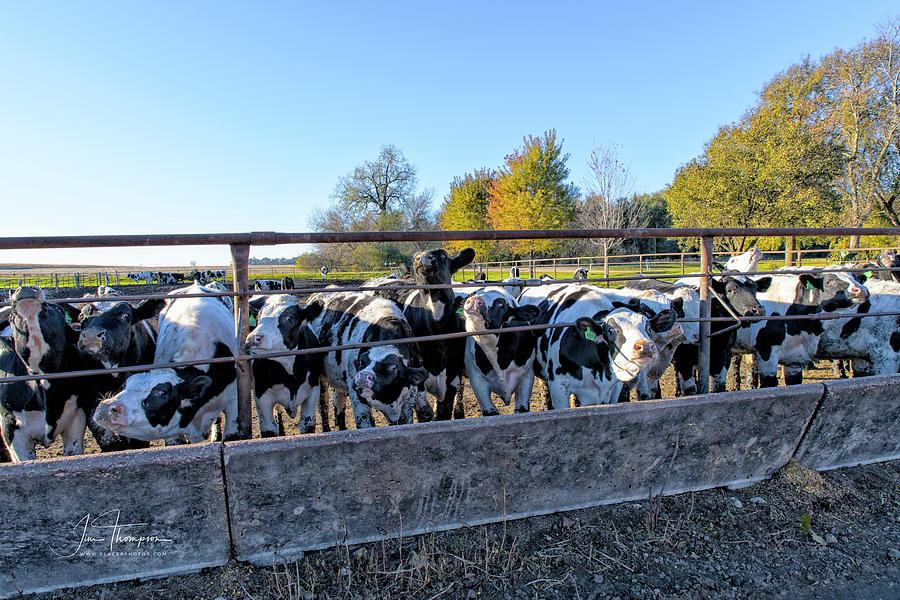Bovine Photograph - Steers by Jim Thompson