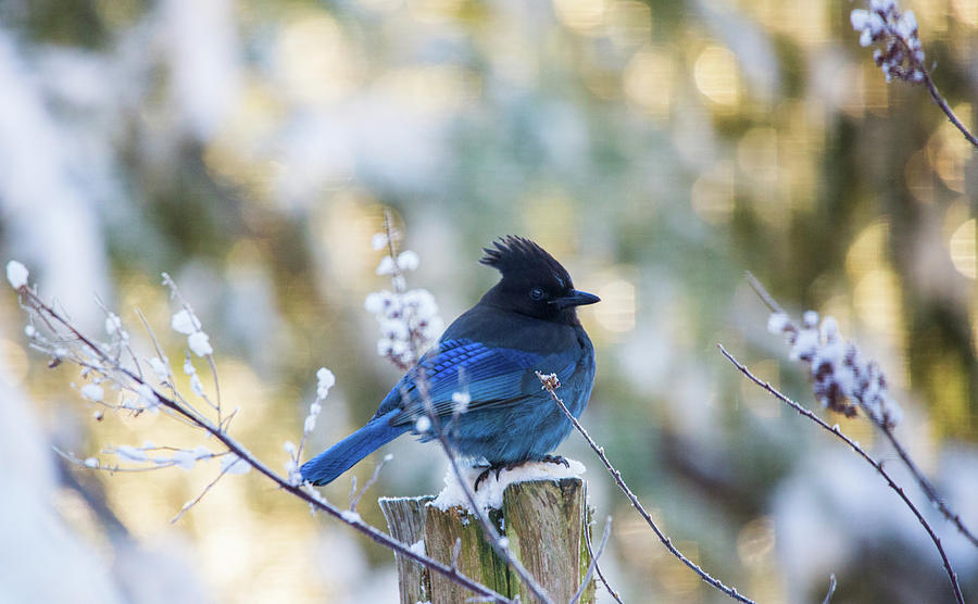STELLAR JAY IN THE SNOW by Rory Sagner