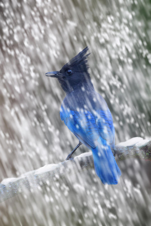 Stellars Jay in Falling Snow by Mark Miller