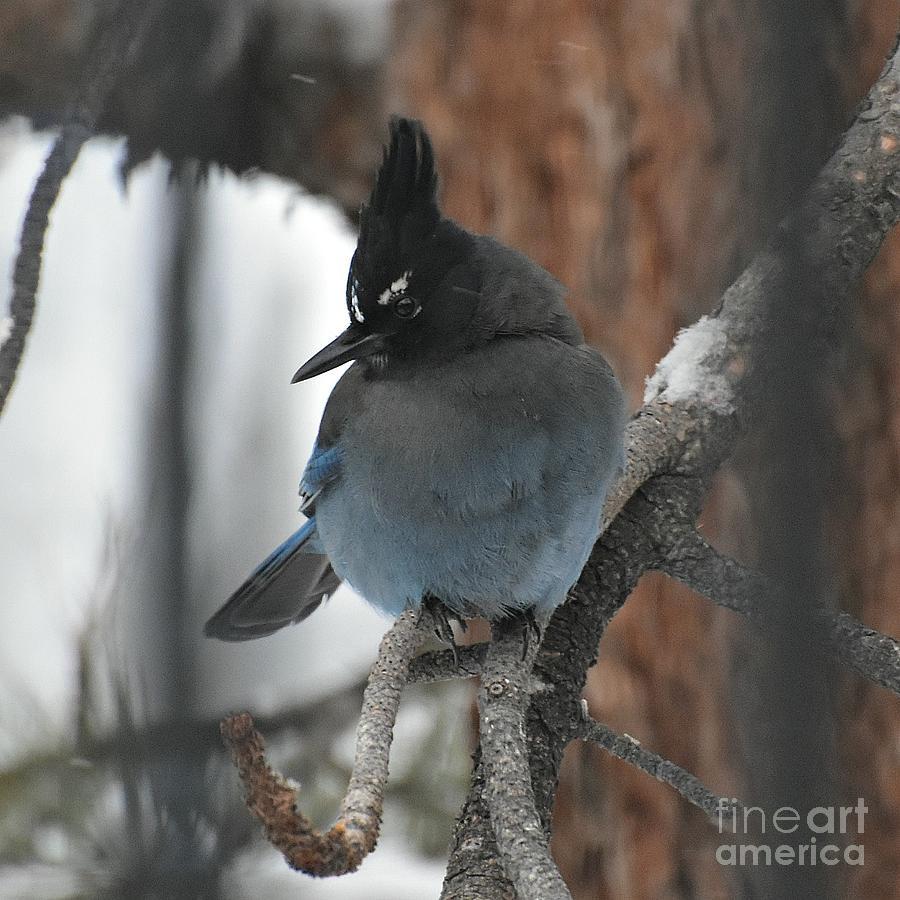 Stellar's Jay in Pine by Dorrene BrownButterfield
