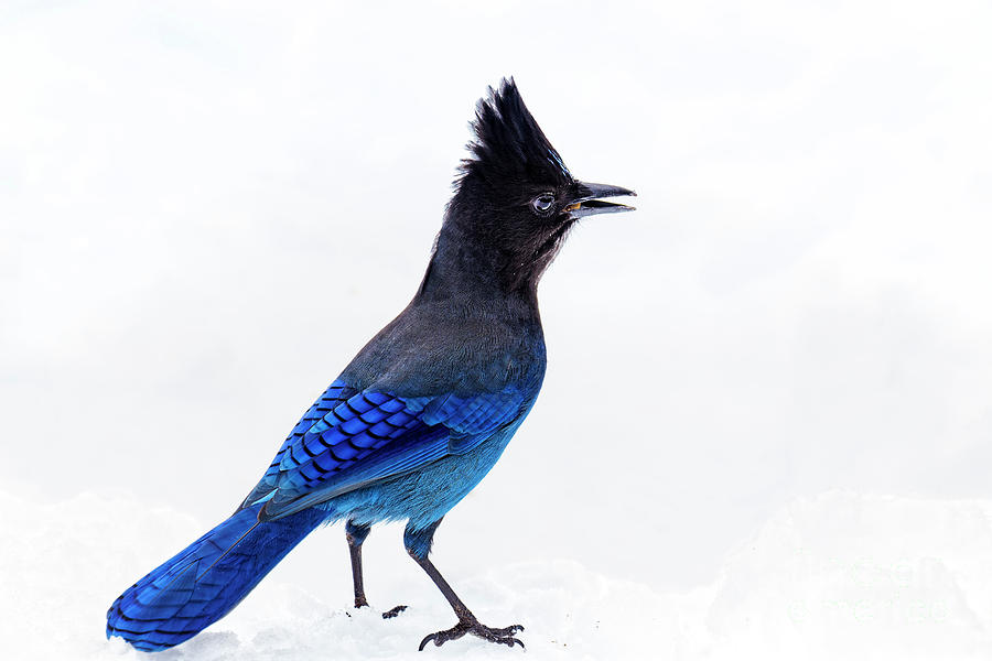 Stellers Jay Cyanocitta stelleri snow Oregon USA by Robert C Paulson Jr