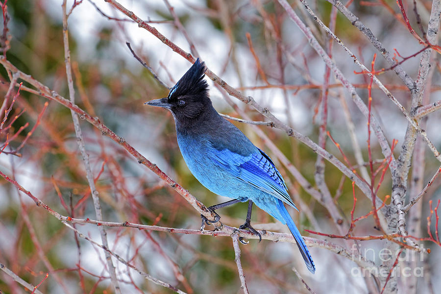 Stellers Jay Cyanocitta stelleri winter head crest Oregon USA by Robert C Paulson Jr