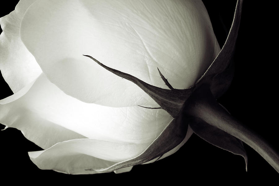Stem And Petals Of A White Rose Photograph by Kim Kozlowski Photography, Llc