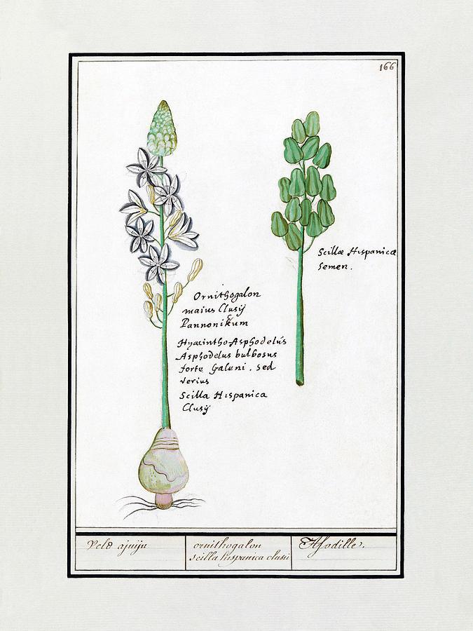 Sterhyacint by Ruth Moratz