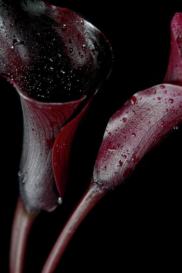 Still-life Of Dark, Organic, Red Calla Photograph by Elizabeth Waugh